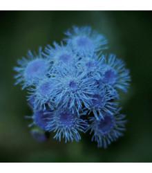 Nestařec modrý - Ageratum Aloha Blue - semena - 20 ks