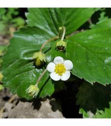 Jahodník Pineberry - Fragaria ananassa - sazenice jahodníku - 2 ks
