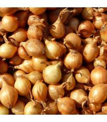 Cibule sazečka Sturon - Allium cepa - cibulky - 100 g