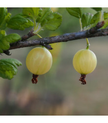 Angrešt bílý - Ribes uva-crispa - sazenice angreštu - 1 ks