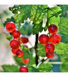 Rybíz červený - Ribes sylvestre - sazenice rybízu - 1 ks