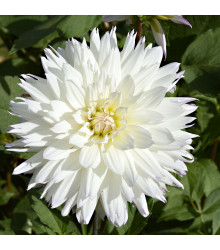 Jiřinka White Perfection - Dahlia - cibule jiřinek - 1 ks