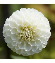 Jiřinka White Aster - Dahlia - cibule jiřinek - 1 ks