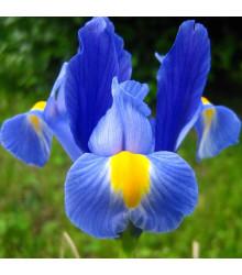 Kosatec Sapphire Beauty - Iris pumila - cibule kosatce - 3 ks