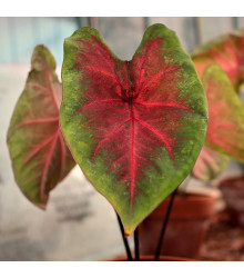 Kaládium Red Fresh - Caladium bicolor - cibule kaládie - 1 ks