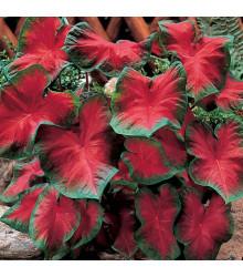 Kaládium Freida Hemple - Caladium bicolor - cibule kaládia - 1 ks