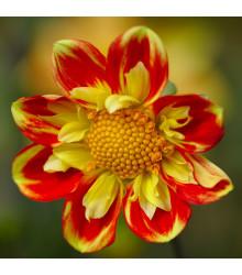 Jiřinka proměnlivá Harlequin směs - Dahlia variabilis - semena jiřinky - 14 ks