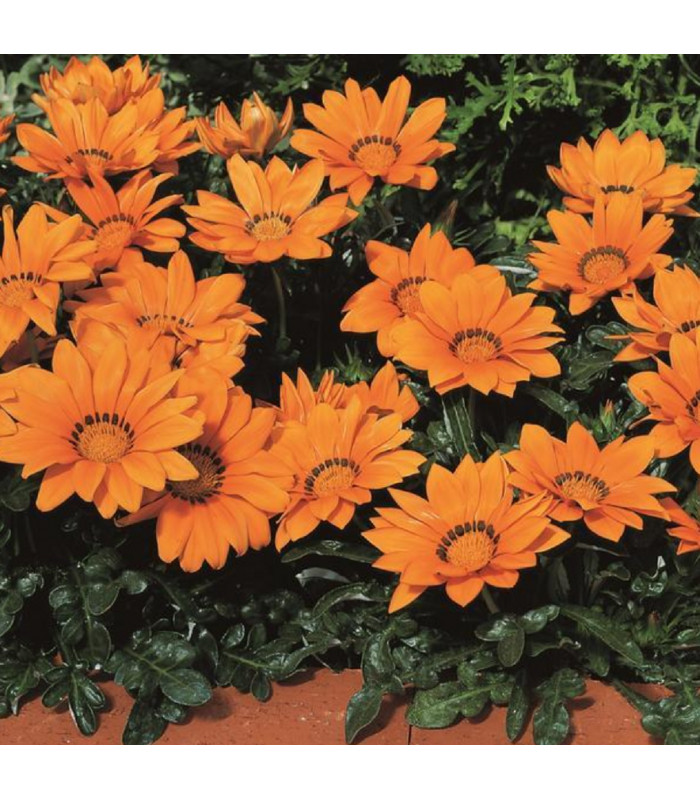 Gazánie Kiss Orange F1 - Gazania rigens - semena gazánie - 12 ks