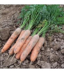Mrkev raná Stupická - Daucus carota - semena - 1500 ks