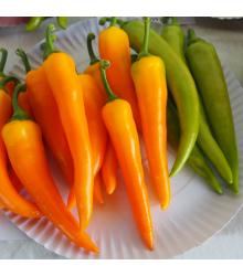 Paprika kozí roh Harvey – Capsicum annuum – semena chilli – 40 ks