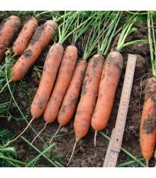 Mrkev raná Marion F1 - Daucus carota - semena - 900 ks