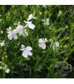 Lobelka drobná Bílý palác - Lobelia erinus - semena lobelky - 0,1 g