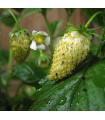 Jahodník měsíční Tubby White - Fragaria vesca - semena jahodníku - 15 ks