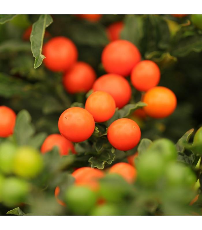 Lilek okrasný Jupiter - Solanum pseudocapsicum - semena okrasného lilku - 10 ks