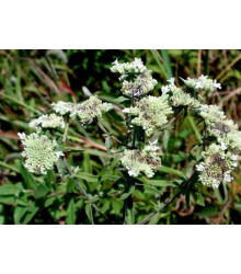 Americká horská máta - Pycnanthemum pilosum - semena - 20 ks