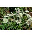 Americká horská máta - Pycnanthemum pilosum - prodej semen - 20 ks