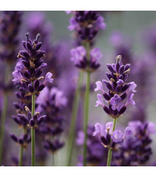 Levandule francouzská Bandera Purple - Lavandula stoechas - semena levandule - 20 ks