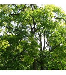 Česnekovník hořký - španělský cedr - Cedrela odorata - semena česnekovníku - 8 ks