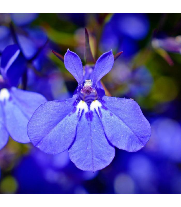 Lobelka nízká Riviera Marine Blue - Lobelia erinus - semena lobelky - 0,1 g