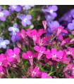 Lobelka nízká Riviera Rose - Lobelia erinus - semena lobelky - 0,1 g