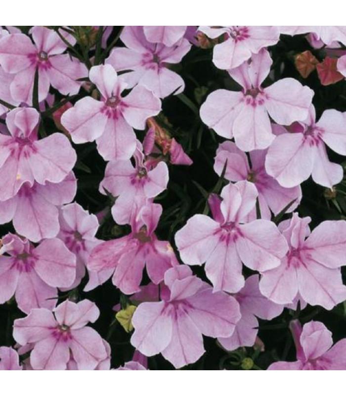 Lobelka nízká Riviera Lilac - Lobelia erinus - semena lobelky - 0,1 g