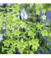 Tabák Perfume Lime F1 - Nicotiana sanderae - semena tabáku - 50 ks