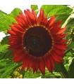 Slunečnice Moulin Rouge - Helianthus annuus - semena slunečnice - 8 ks