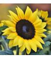 Slunečnice Sunrich Lemon - Helianthus annuus - semena slunečnice - 8 ks