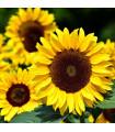 Slunečnice Big Smile - Helianthus annuus - semena slunečnice - 8 ks