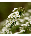 Tařicovka přímořská Schneeteppich - Lobularia maritima - semena tařicovky - 50 ks