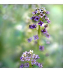 More about Tařicovka přímořská Könnigsteppich - Lobularia maritima - semena tařicovky - 50 ks