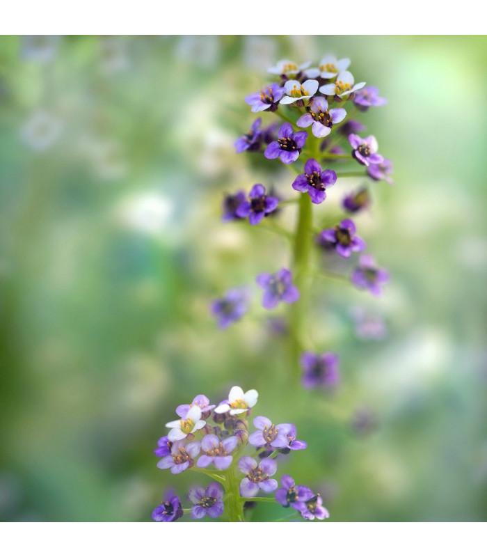 Tařicovka přímořská Könnigsteppich - Lobularia maritima - semena tařicovky - 50 ks