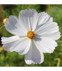 Krásenka Sonata bílá - Cosmos bipinnatus - semena krásenky - 15 ks