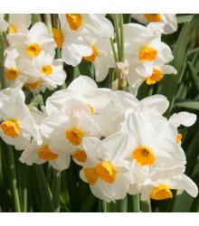 Narcis Geranium - Narcissus L. - cibuloviny  - 3 ks