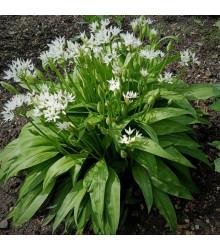 Česnek medvědí - Allium ursinum - semena - 7 ks