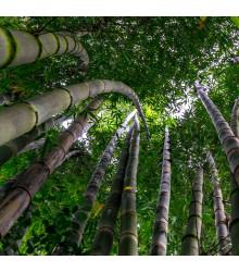 Král bambusů - Phyllostachys pubescens - semena - 3 ks