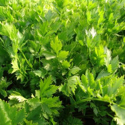 Celer listový jemný - Apium graveolens - semena celeru - 1 g