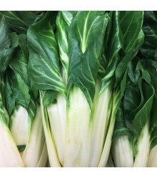 Mangold bílý White silver - Beta vulgaris - semena - 50 ks