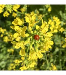 Hořčice černá  - Brassica nigra - semena - 50 ks