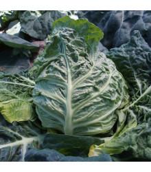 Kapusta raná žlutá - Brassica oleracea - osivo kapusty - 150 ks
