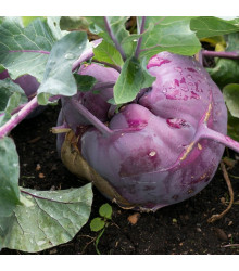 Kedluben raný modrý Ballot F1 - Brassica oleracea - semena - 50 ks