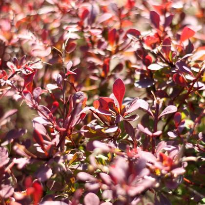 Červený dráč - Berberis thunbergii Atropurpurea - semena - 5 ks