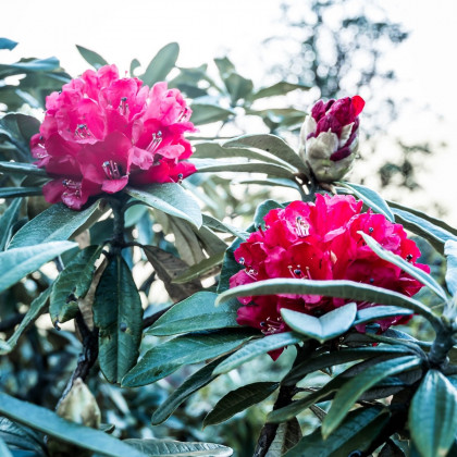 Rododendron - Pěnišník - Rhododendron arboreum - semena - 50 ks