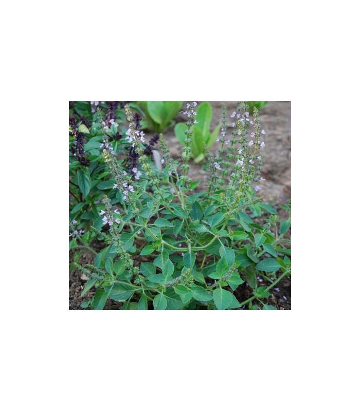Bazalka pravá Spice - Ocimum basilicum Spice Basil - semena bazalky - 50 ks