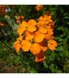 Chejr sibiřský - Cheiranthus allionii - semena - 500 ks