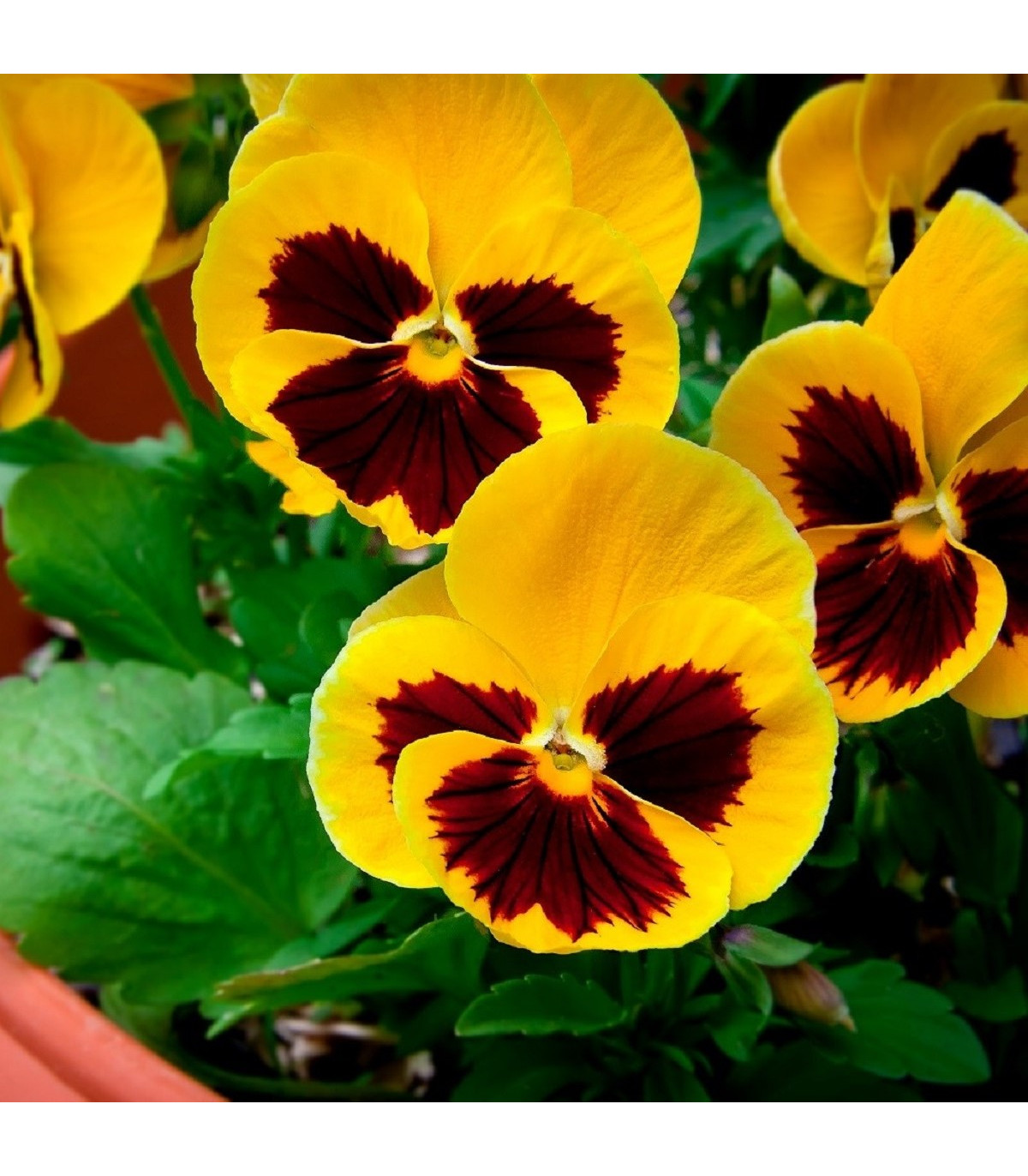Maceška Zlatožlutá Firnengold - Viola wittrockiana - semena - 200 ks