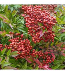 Nandina domácí - Bambus nebeský - Nandina domestica - semena - 3 ks