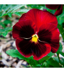 Maceška červená Abendglut - Viola wittrockiana - semena - 200 ks