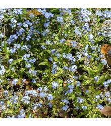 Pomněnka alpinská zakrslá - Myosotis alpestris - semena - 700 ks