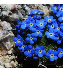 Pomněnka alpská temně modrá - Myosotis alpestris - semena - 130 ks